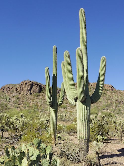 Carnegiea_gigantea_in_Saguaro_National_Park_near_Tucson,_Arizona_during_November_(58).jpg
