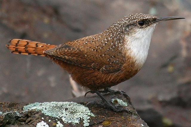 Canyon wren.jpg